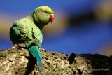 Halsbandparkiet (Psittacula krameri) vrouwtje