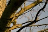 Groene Specht (Picus viridis) mannetje