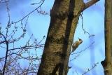 Groene Specht (Picus viridis) vrouwtje