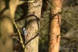 Grote Bonte Specht (Dendrocopos major) vrouwtje