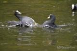 Meerkoet (Fulica atra) 2 x vechtende mannetjes