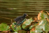 Waterhoen (Gallinula chloropus) juveniel