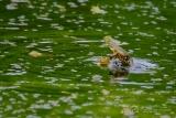 Poel- of Groene kikker (Pelophylax lessonae)