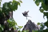 Witte Kwikstaart (Motacilla alba)