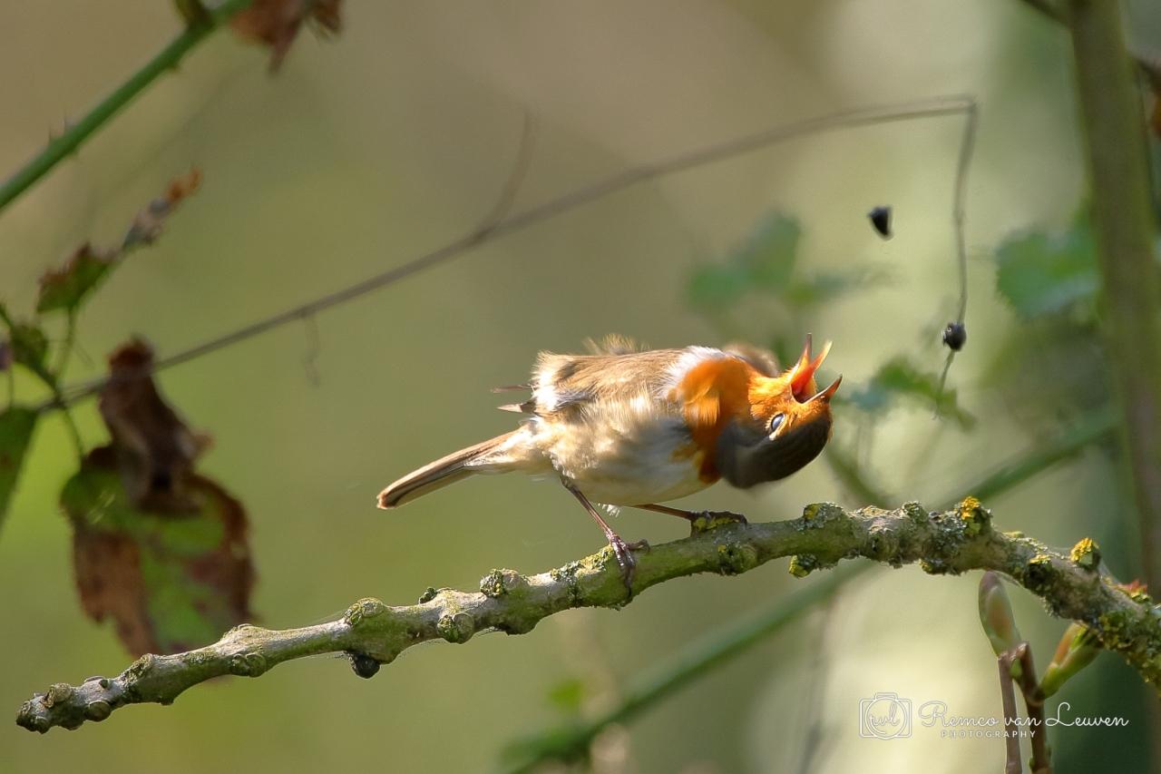 Roodborst (Erithacus rubecula)