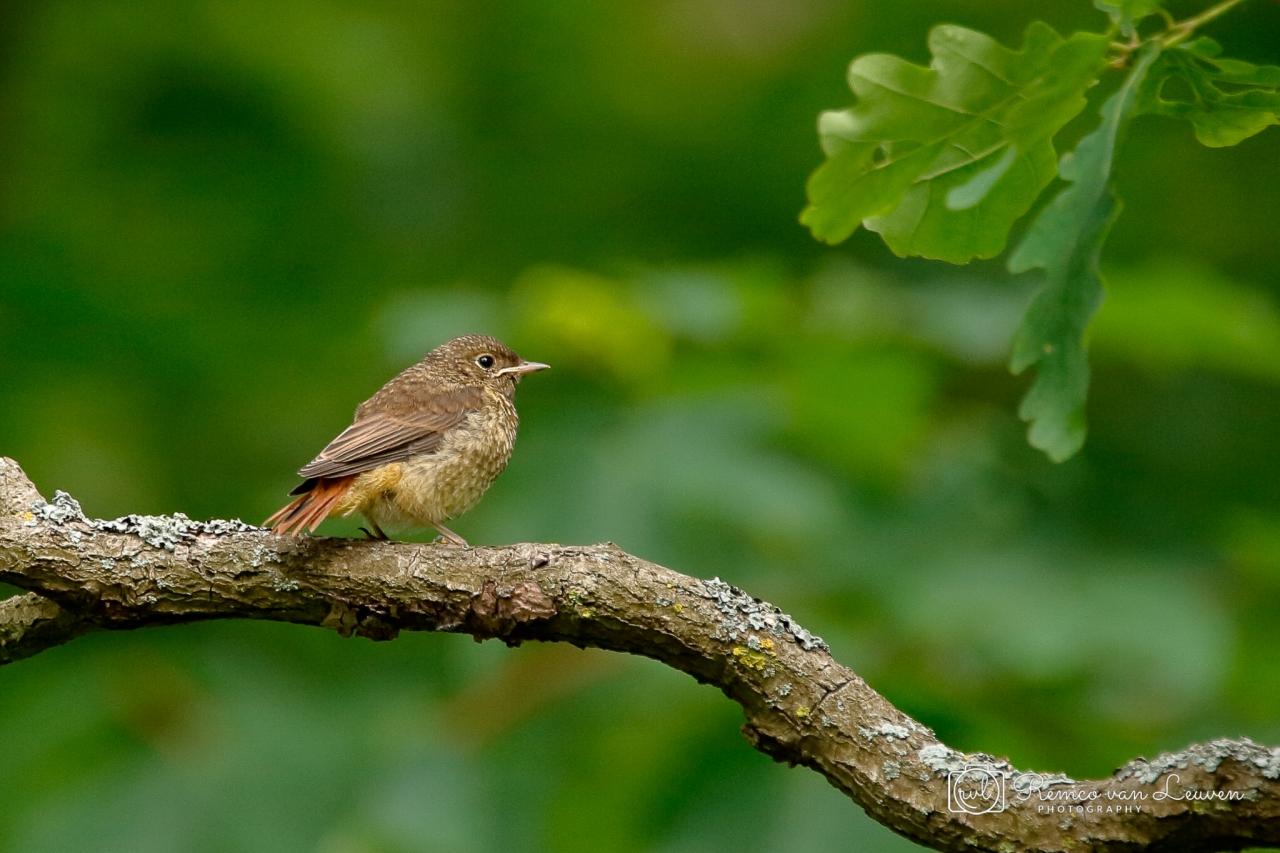 Gekraagde Roodstaart (Phoenicurus phoenicurus) vrouwtje