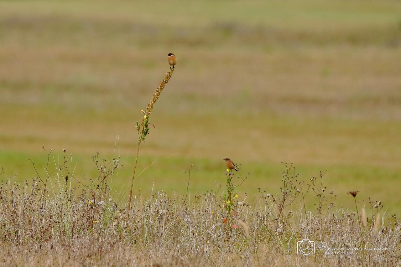 Roodborsttapuit (Saxicola rubicola) mannetje - links, vrouwtje - rechts