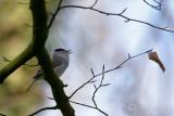 Zwartkop (Sylvia atricapilla) mannetje