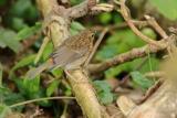 Roodborst (Erithacus rubecula) juveniel
