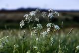 White-flowered green
