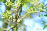 Grote keizerlibel (Anax imperator) aan het paren