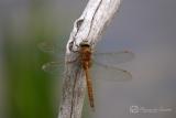 Libellen en juffers (Odonata, Odonatoptera)