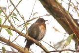 Merel (Turdus merula) vrouwtje