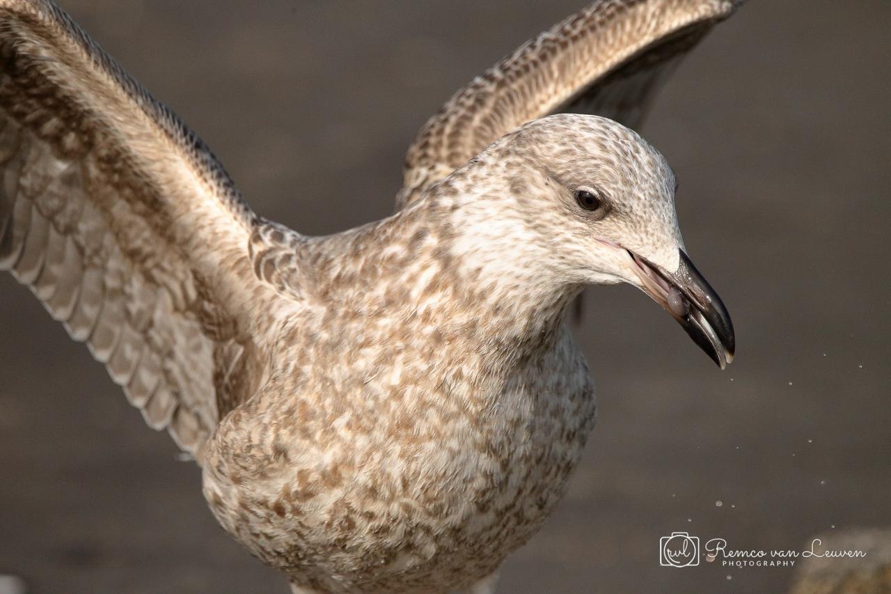 Meeuw (Laridae)