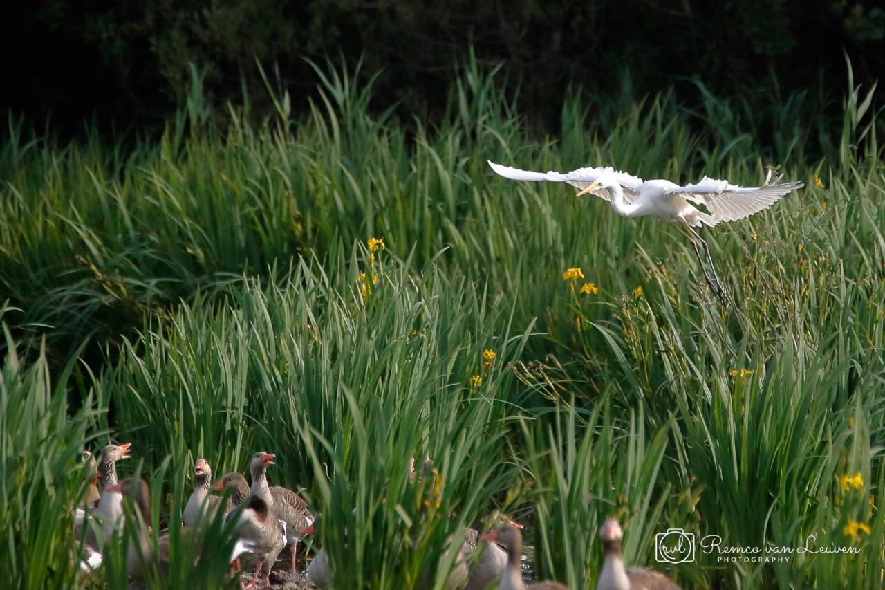 Grote Zilverreiger (Ardea alba) en Grauwe Ganzen (Anser anser)