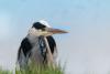 Blauwe Reiger (Ardea cinerea) / Grey Heron