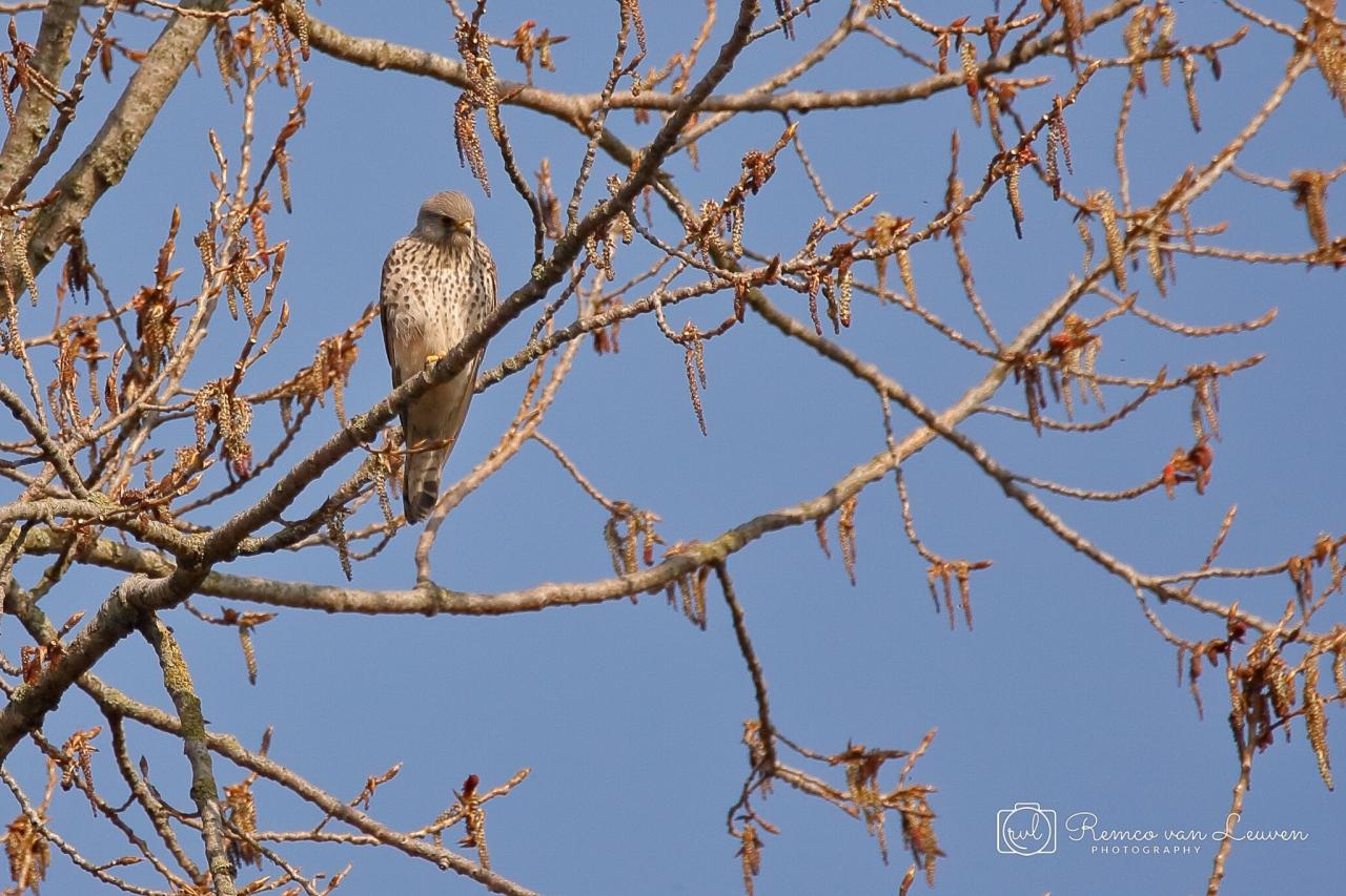 Torenvalk (Falco tinnunculus) vrouwtje