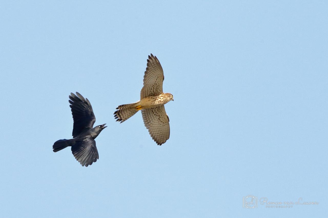Torenvalk (Falco tinnunculus) vrouwtje en Kauw (Corvus monedula)