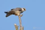 Roodpootvalk (Falco vespertinus Linnaeus) juveniel