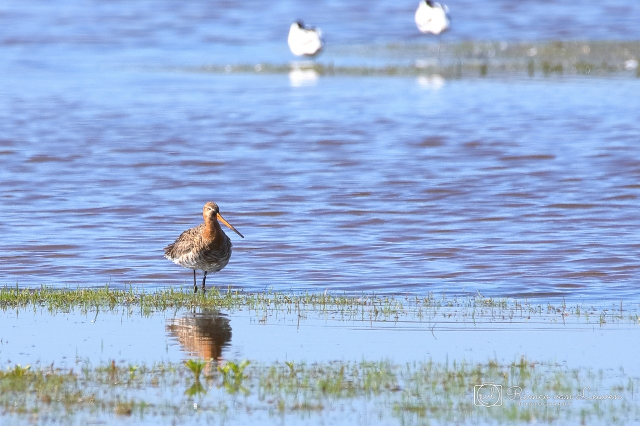 Grutto (Limosa limosa) vrouwtje