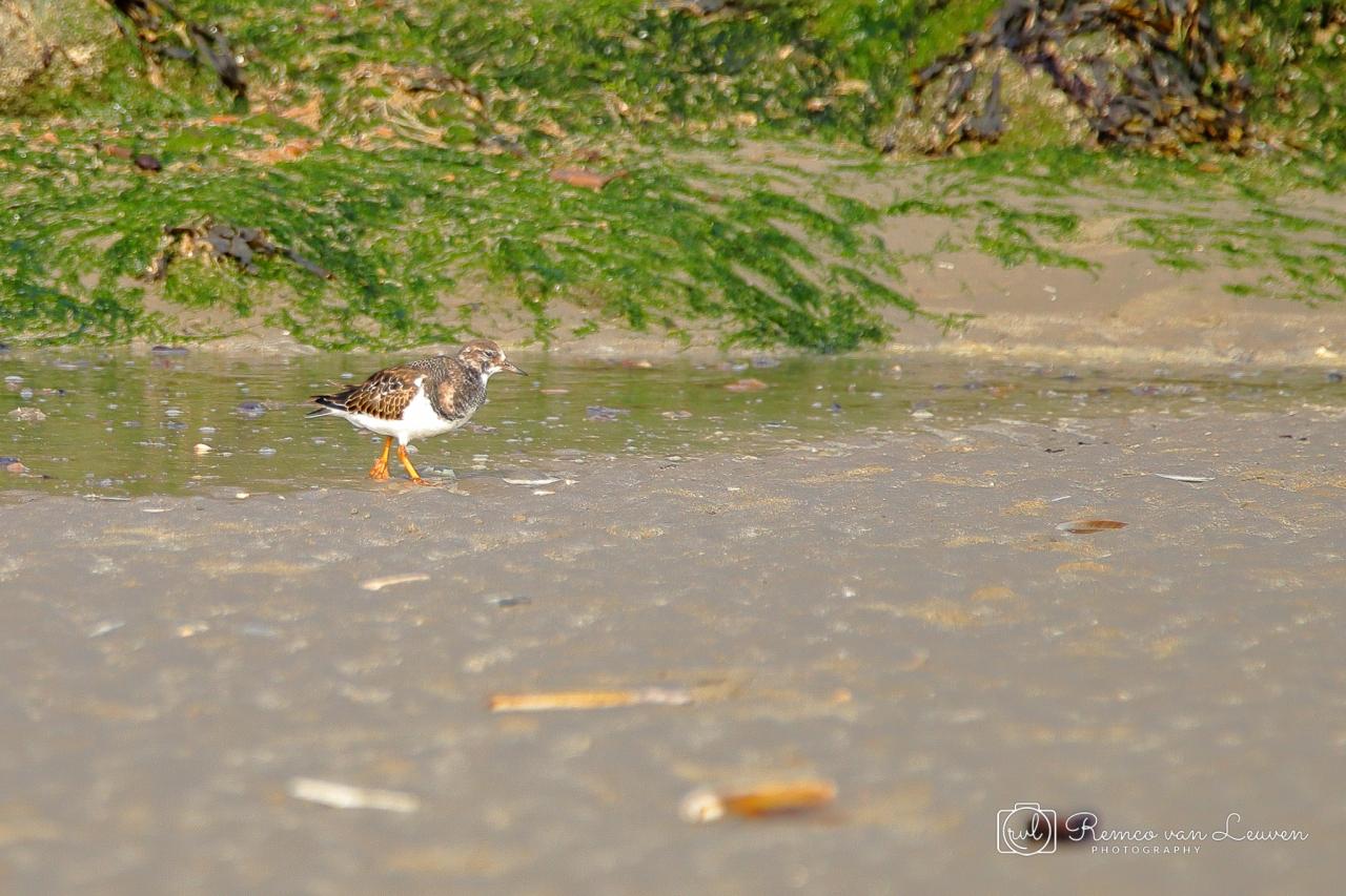 Steenloper (Arenaria interpres)