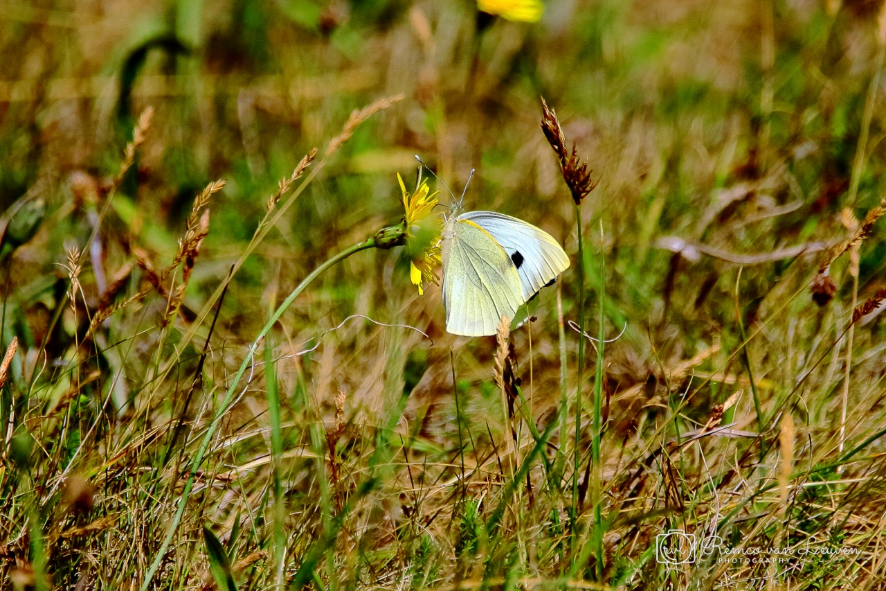 Grote koolwitje (Pieris brassicae)