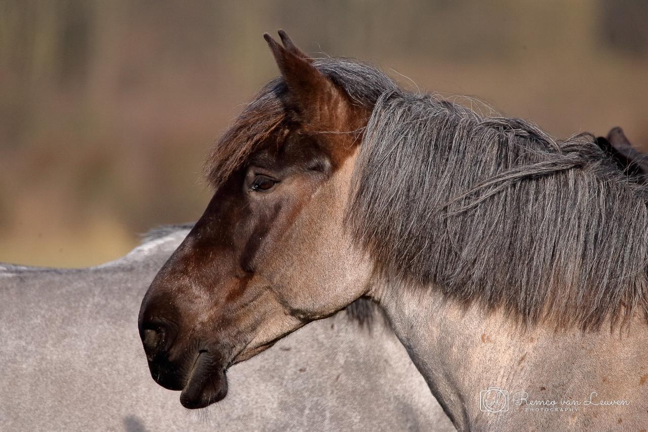 Konikpaard (Equus ferus caballus)