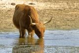 Schotse Hooglanders (Bos taurus) koe