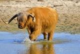 Schotse Hooglanders (Bos taurus) rund