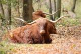 Schotse Hooglander (Bos taurus)