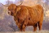 Schotse Hooglander (Bos taurus) rund