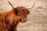 Schotse Hooglander (Bos taurus) koe