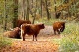Schotse Hooglanders (Bos taurus)