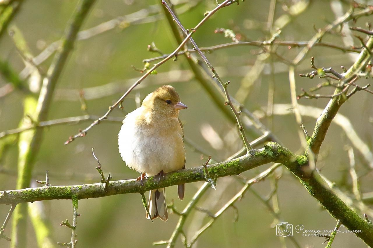 Vink (Fringilla coelebs) vrouwtje