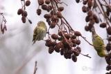 Sijs (Spinus spinus) vrouwtje