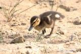 Wilde Eend (Anas platyrhynchos) jong